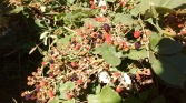 Wild blackberries all over!